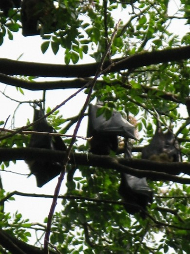 fruits bats are huge and we were up close as they hung in the trees cooling themselves in the heat of the day