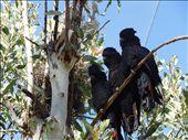 Black Cockatoos in a bird enclosure: by thewoodies, Views[346]