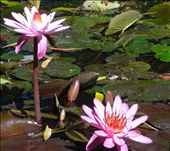 Water lillies at Cooktown Botanical Gardens.: by thewoodies, Views[131]