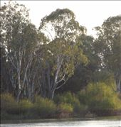 Eucalypts by the river at sunset.: by thewoodies, Views[133]