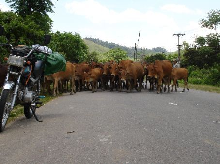 Cows, just some of the many obstacles we came across on the motorbike trip.