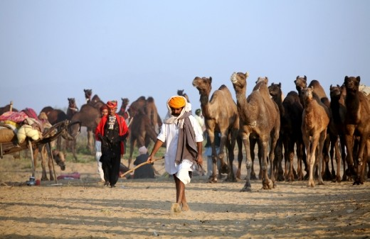 A trader arrives at the Camel Trade festival in the morning with his livestock at Pushkar, Rajasthan, India. Its one of the biggest camel trade festival which attracts close to 300,000 visitors and around 20,000 camels, horses & cattle are traded in the month of November