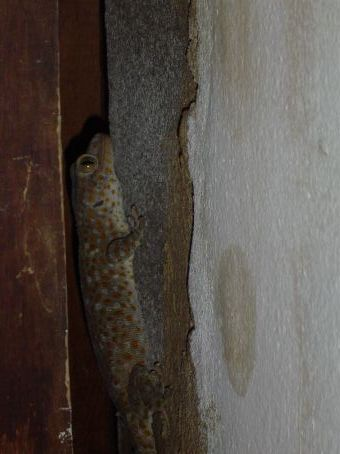 Ein Gecko. Davon lebten zwei unter der Dachkante und kamen ab und zu hervor um durch ihr Revier, das Wohnzimmer, zu spazieren.