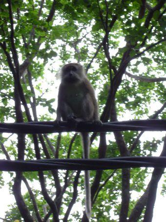 Ein Affe auf dem Strommast auf dem Weg vom Monkey Beach nach ABC.