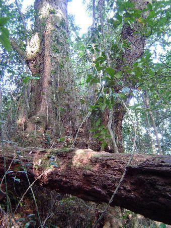 Riesige Baeume im Border Range National Park.