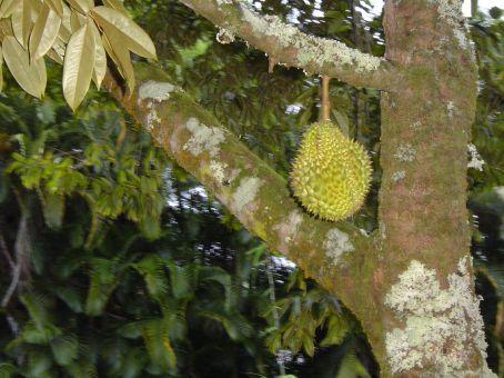 Ein Traum: Frische Durianfruechte vom Baum.