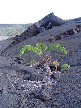 Ein Farn kaempft fuer seine Rechte! Nach dem Lavaausbruch von 1982 boxen sich die ersten Pflanzen zurueck an die Oberflaeche.