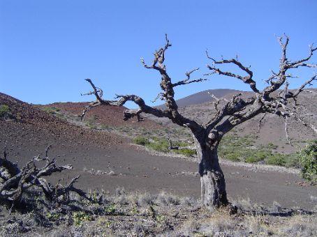 Ein vertrockneter Baum in der beginnenden alpinen Wueste des Mauna Kea.