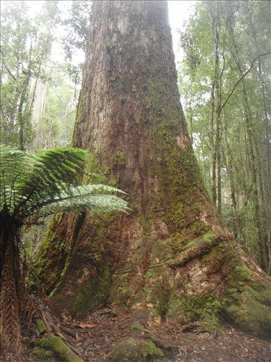 Tallest flowering plant in the world (swamp gum), Mt. Field NP