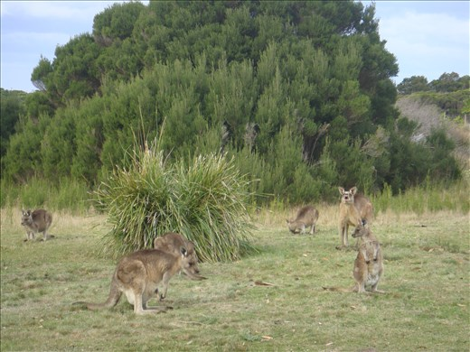 Kangaroos about