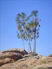 Lonely palm trees, Nitmiluk NP: by thomasz, Views[70]