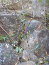 Golden Orb Weaving Spider, Gubara, Kakadu NP: by thomasz, Views[288]