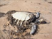 Dead sea turtle, South Mandu, Cape Range NP, WA: by thomasz, Views[179]