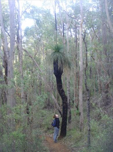 Tall grass tree, Serpentine NP, WA
