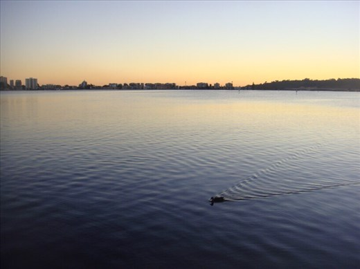 Duck on the Swan river at sunset, Perth