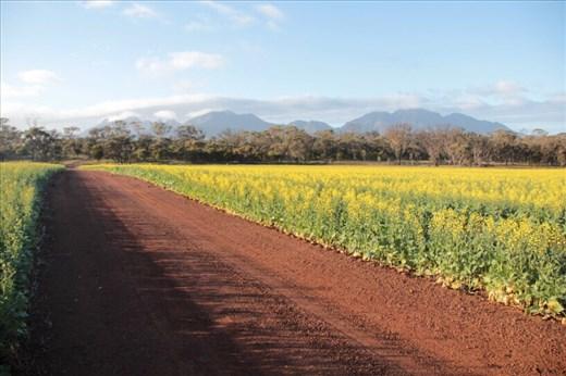 Into the canola fields, WA