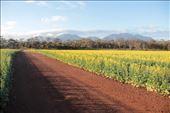 Into the canola fields, WA: by thomasz, Views[138]