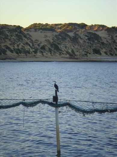 Cormorant on the shark net, Point Sinclair, SA