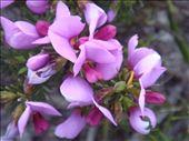 Purple flowers, Fitzgerald NP, WA: by thomasz, Views[51]