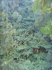 Fern tree canopy, Great Otway NP, Vic: by thomasz, Views[76]
