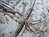 Crawled up my leg, Huntsman, Great Sandy NP, QLD: by thomasz, Views[82]