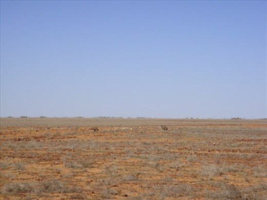 Emus in the outback, SA
