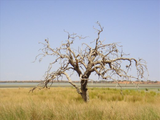 Gnarled old tree, Coongie Lake, Innamincka Regional Reserve, SA