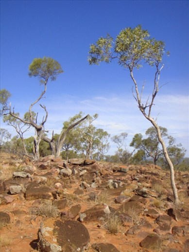 Young trees on Mount Oxley, Bourke, NSW.