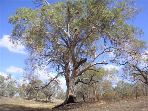 Red gum, Bourke, NSW.