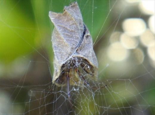 Leaf curling spider, Sydney, NSW.