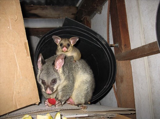 Mother and child possum enjoying some apple in the shed, Kimbriki, NSW.