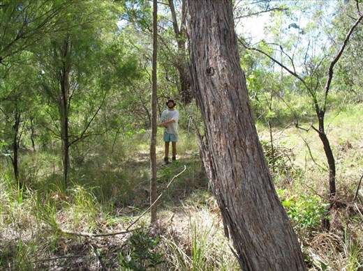 Pulling out lantana, Kimbriki, NSW.