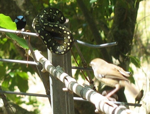 The wrens are on guard, Kimbriki, NSW.