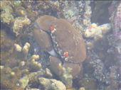 Little crab, between Limbinwen and White Sand, Malekula.: by thomasz, Views[44]