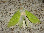 Moth, Tokirima: by thomasz, Views[47]