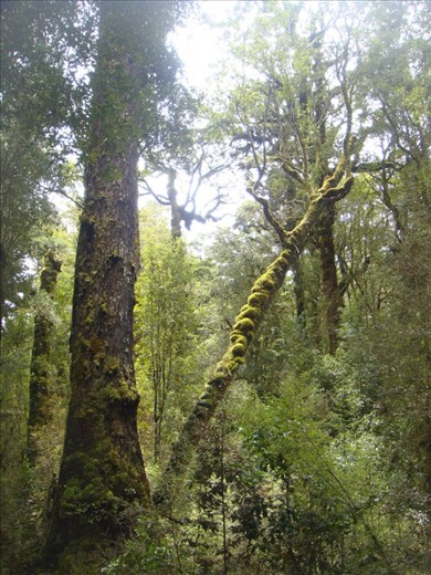 Primeval forest, Oparara Basin