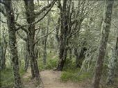 Lichen covered trees, Cass-Lagoon Track: by thomasz, Views[56]