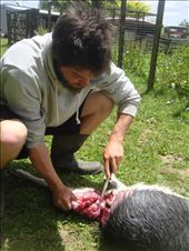 Cutting up a goat for the pigs, Avonstour: by thomasz, Views[13]