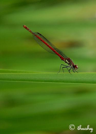 Batticaloa, Srilanka at my garden (Red baby Dragonfly)