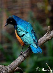 London Zoo (Superb Starling): by thushy_photography, Views[313]
