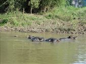Of buffalo wallowing under a  peaceful river: by thuynguyen, Views[48]