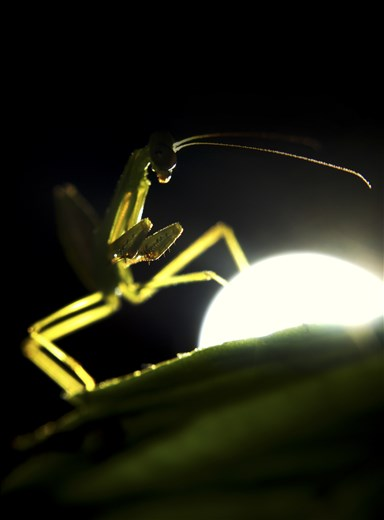 A praying mantis in the midst of the night, hunting for its prey until the light of my torch interrupts its stalking. While they look scary, I have come to learn they are quite graceful in their movements. Reminds me of a ninja under the moon light!