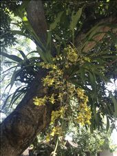Tree orchids!!: by tiffany3939, Views[361]