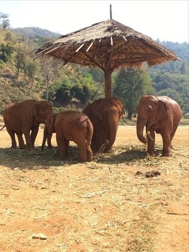 Enjoying the shade.  Elephant Nature Park, Thailand.