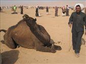 Preparations for the Camel Race near Palmyra: by tk-tempany, Views[599]