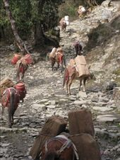 Donkeys carrying supplies to villages in the Annapurna region.: by tk-tempany, Views[461]