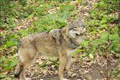 Wolves at Skansen: by tk_inks, Views[407]