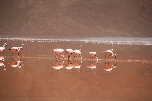 Pink Flamingos at Laguna Colorada