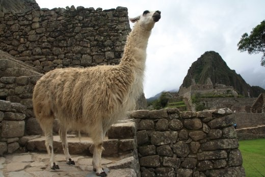Cool llamas walking the ruins