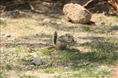 A White-tailed Antelope Squirrel: by tk_inks, Views[189]
